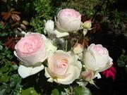 Розы,  корни роз,  продажа саженцев роз  Алматы и область