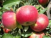 Яблони,  саженцы яблонь,  продажа деревьев яблонь Алматы и область