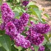 Сирень (лат. Syringa vulgaris),  саженцы сирени,  продажа деревьев Алматы и область