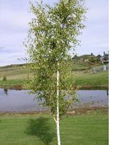 Берёзы (лат. Betula pendula) саженцы