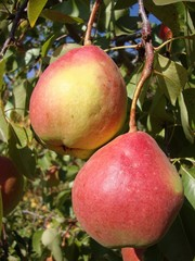 Груша,  саженцы груш,  продажа деревьев груши Алматы и область