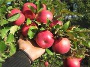 Саженцы (плодовые деревья)