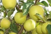 Яблоки высший сорт Тургеньские! с доставкой