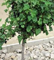 Штамбовые ягодные кустарники в Алматы