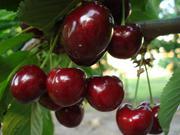 Самые новые сорта плодово-ягодных культур оптом и в розницу