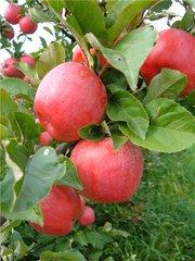 Саженцы яблони сорта «Лигол» (Польша) в Алматы.