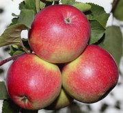 Саженцы яблонь (Польша) оптом и в розницу.