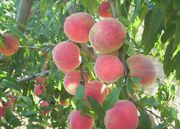 «Саженцы персика оптом и в розницу в Алматы»