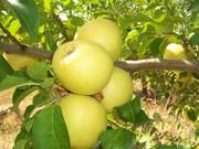 Саженцы яблонь «Golden Deliceous»и «Alwa»(Польша).