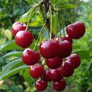 Саженцы вишни оптом и в розницу.