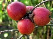Продам саженцы яблонь из Европы оптом и в розницу.