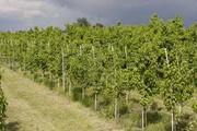 Продам саженцы яблони Камспур (разветвление 5 ,  2-х летка).