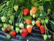 Посадочный материал (рассада) клубники по системе Фриго,  (урожай в год