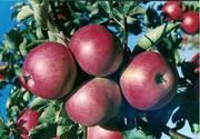 Саженцы яблонь,  карлики и полукарлики !