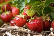 Саженцы новых плодово-ягодных культур в Алматы