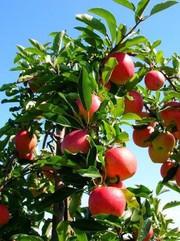 Саженцы яблонь,  груш и вишни карлики и полукарлики !
