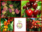 Слива,  черешня,  абрикос -  саженцы более 20 сортов , карлики и полу кар