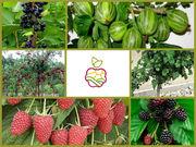 «Саженцы ягодных кустарников в Алматы оптом и в розницу