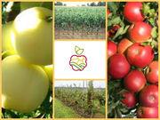 Саженцы карликовых и полу карликовых яблонь.