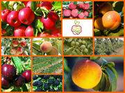 Саженцы в неограниченном количестве из Европы,  яблоня,  слива,  абрикос