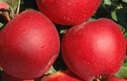 Яблоня, саженцы из Европы,   специальное предложение на 5 лучших сортов!