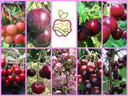 Рассада клубники и земляники,  саженцы плодовых деревьев