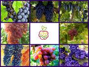 Саженцы винограда (зкс) в Казахстане.