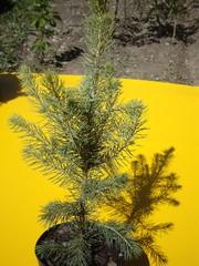 Ель голубая. Сосна горная Мугус и Пумилио. Саженцы хвойных деревьев в Алматы