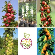Саженцы колоновидных яблонь в Казахстане.
