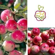 Саженцы яблони «Конфетное» в Алматы оптом и в розницу.