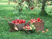 Саженцы яблонь,  местные и из Польши.
