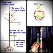 Саженцы яблонь по типу «Книп баум» в Алматы.