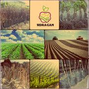 Саженцы плодовых деревьев,  яблоня,  вишня, груша.